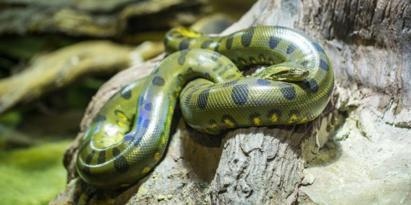animales de la selva anaconda