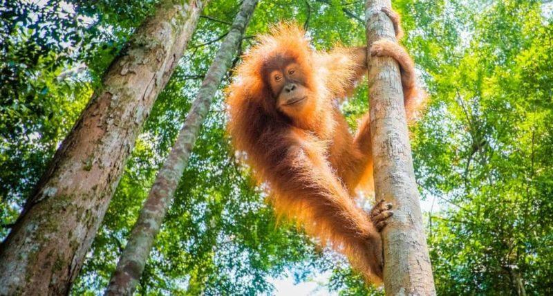 animales de la selva orangutan