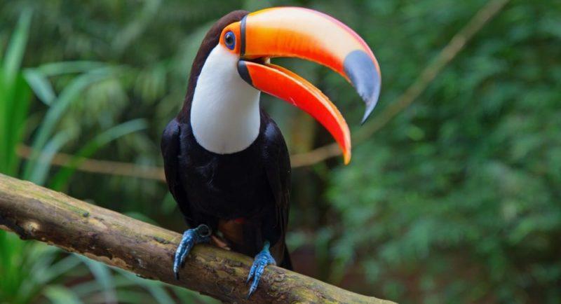 animales de la selva tucan