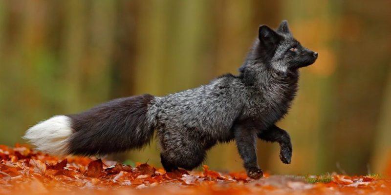 bosque caducifolio animales fauna zorro