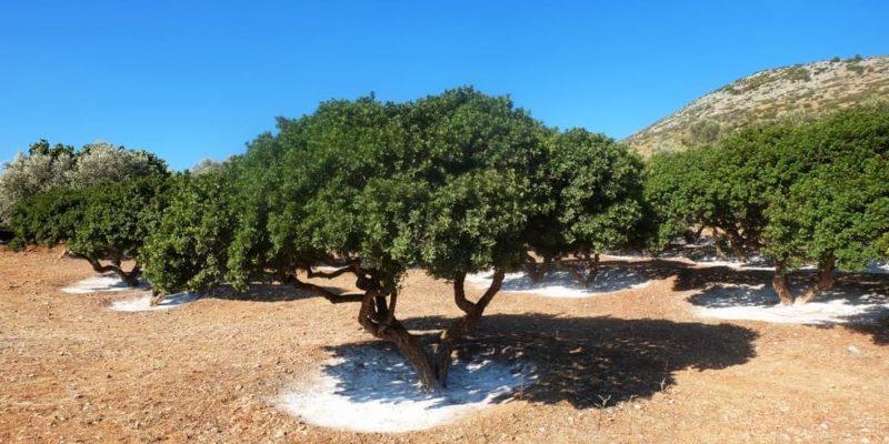 bosque mediterraneo lentisco