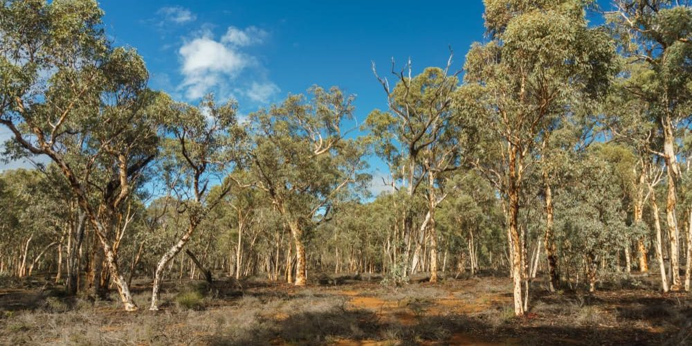bosque mediterraneo mallee australia