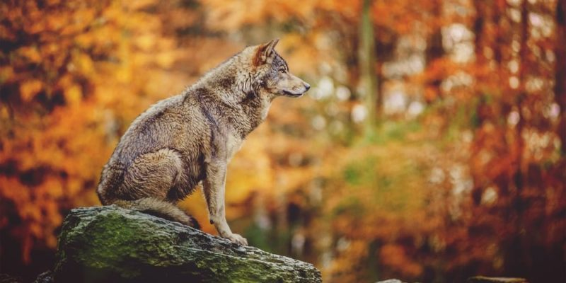 bosque templado fauna lobo