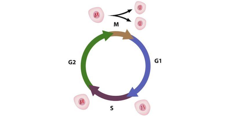 ciclo celular-g1 g2 s mitosis meiosis