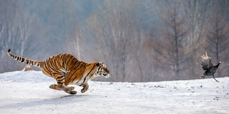 red trofica alimentaria ecosistema terrestre tigre