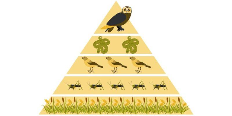 red trofica piramide alimentaria