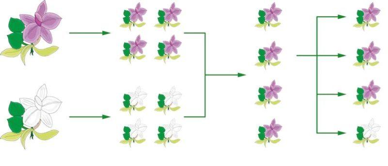 teoria cromosomica de la herencia leyes de mendel boveri sutton