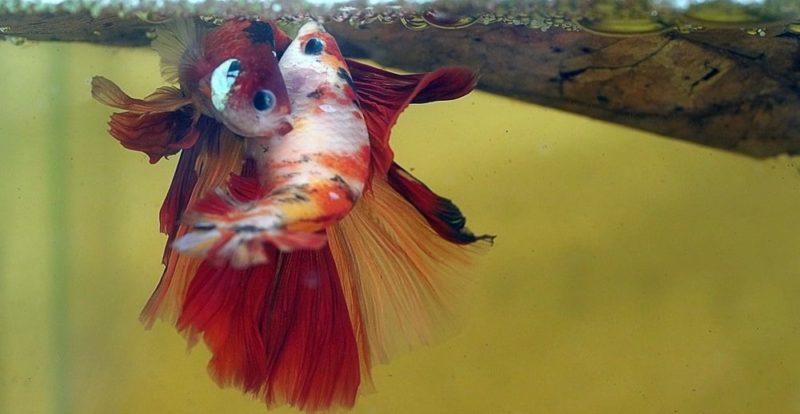reproduccion de los peces betta