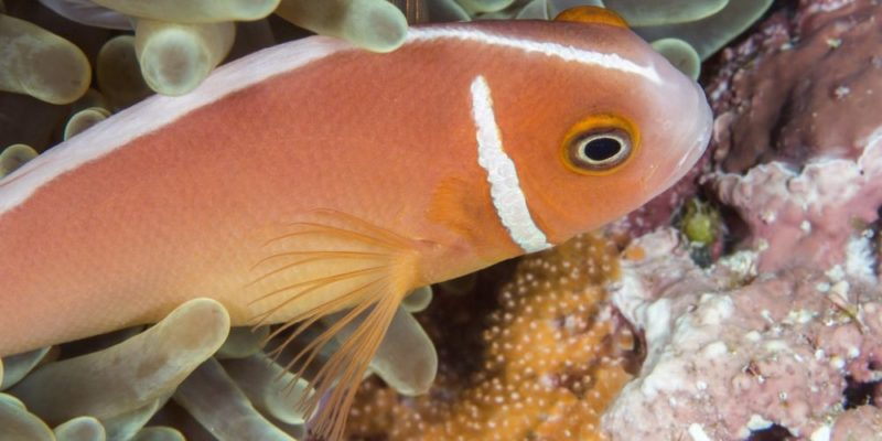 reproduccion de los peces
