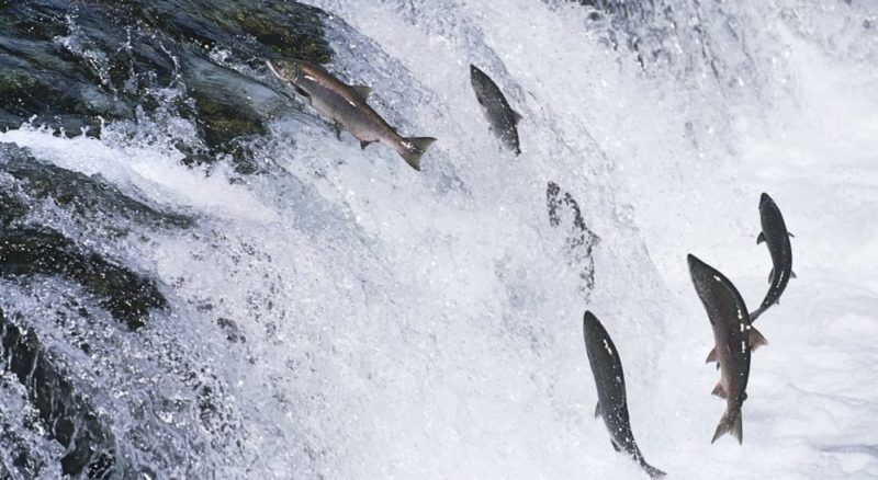 reproduccion de los peces migracion salmon