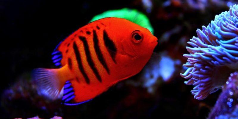 reproduccion de los peces pez angel flama hermafrodita
