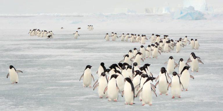 fenomenos naturales migracion pinguinos