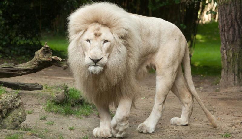 genes genetica adn mutacion leon blanco