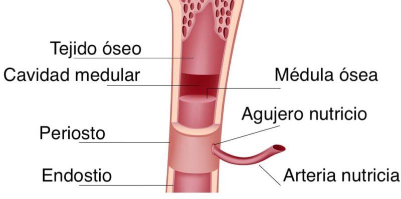 huesos estructura