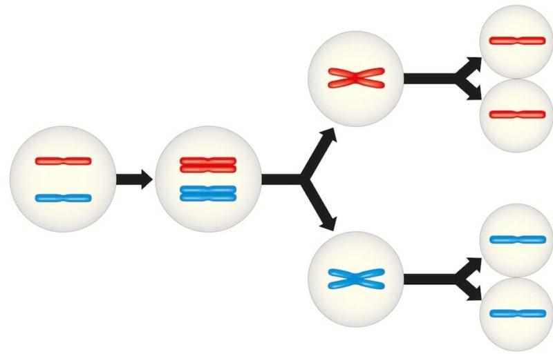 Reproducción Celular Concepto Fases Meiosis Y Mitosis