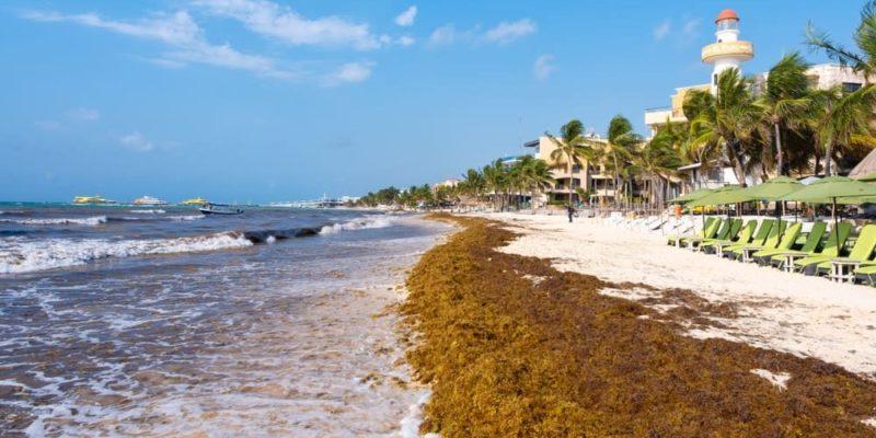 sargazo caribe alga
