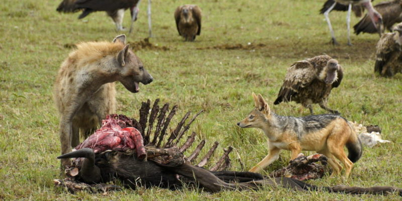 animales carroñeros hiena