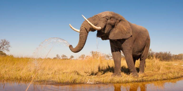animales de la sabana africana elefante
