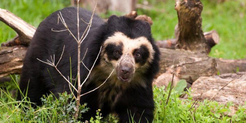 animales de la sierra oso con anteojos