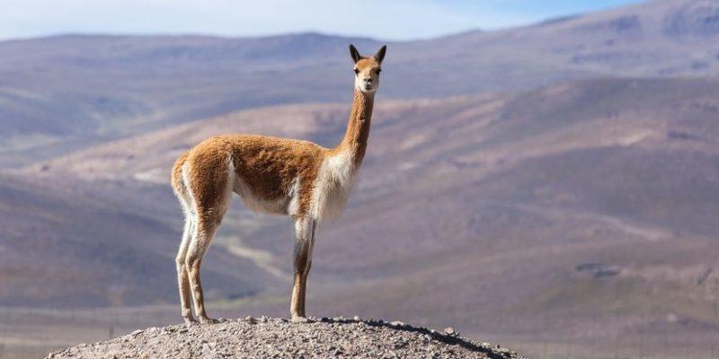 animales de la sierra vicuna
