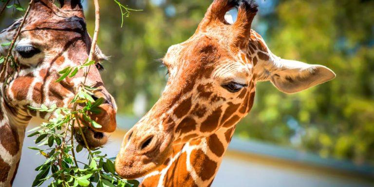 animales herbivoros jirafa