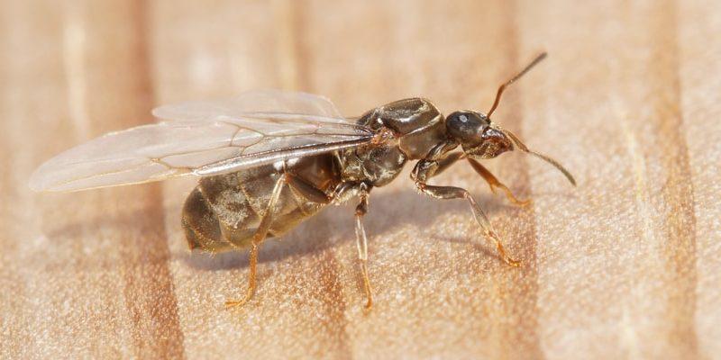 animales voladores hormiga