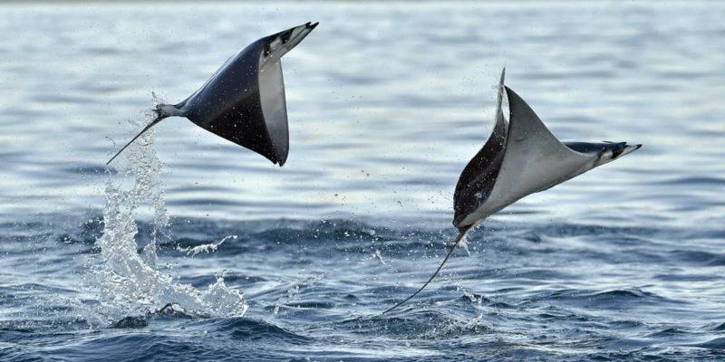 animales voladores manta