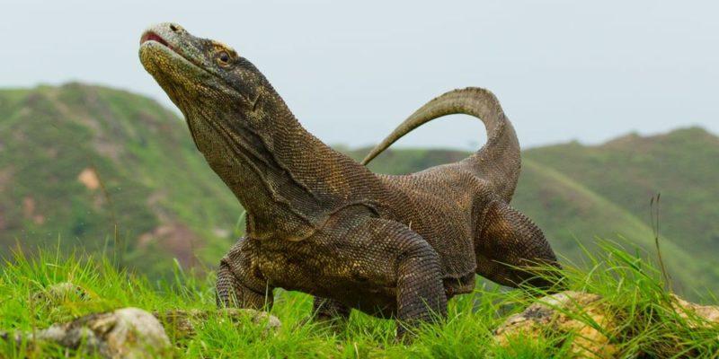parque nacional de komodo dragon
