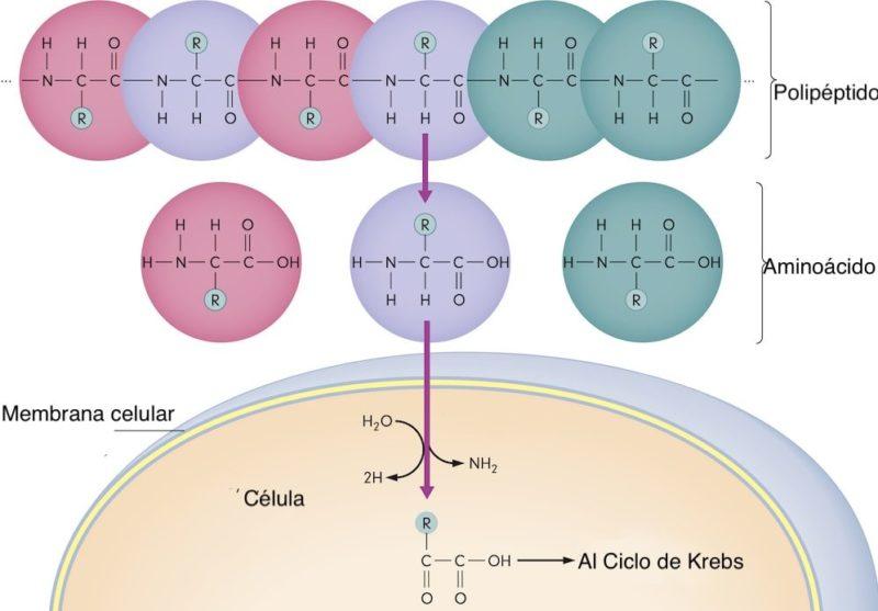 anabolismo catabolismo celula