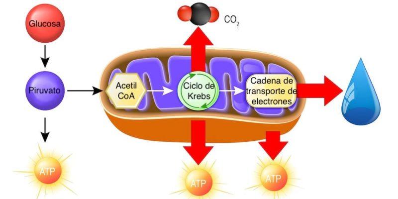 catabolismo celula mitocondria