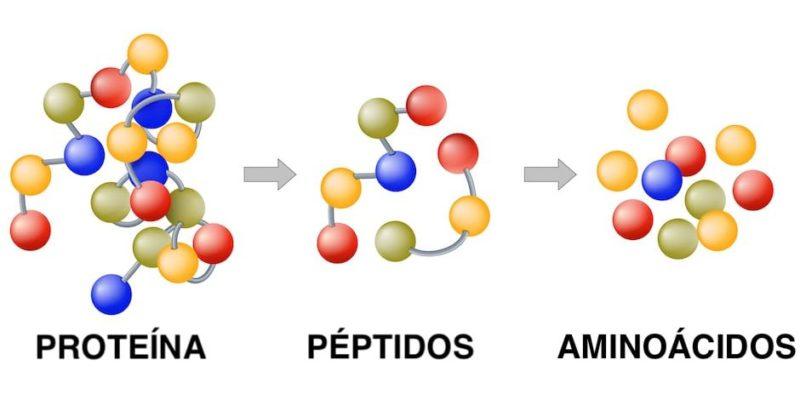 catabolismo ejemplo proteina
