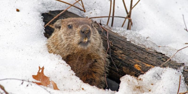 hibernacion marmota