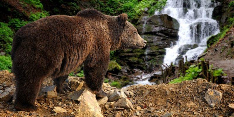 hibernacion oso pardo