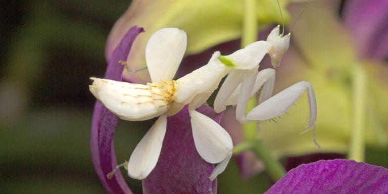 mimetismo mantis orquidea hymenopus coronatus