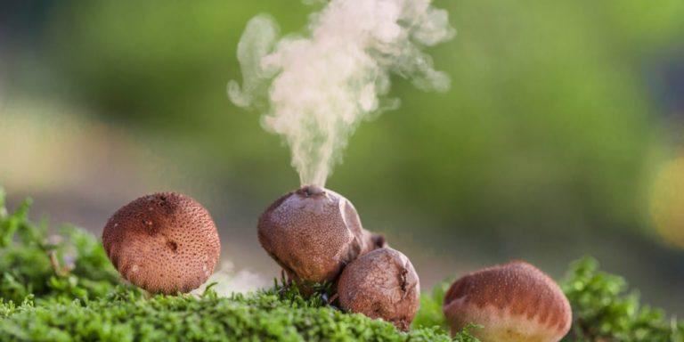 esporulacion esporas hongos