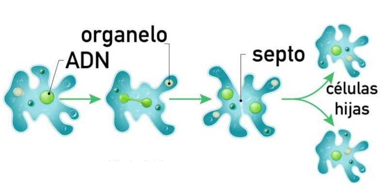 fision binaria reproduccion asexual ameba