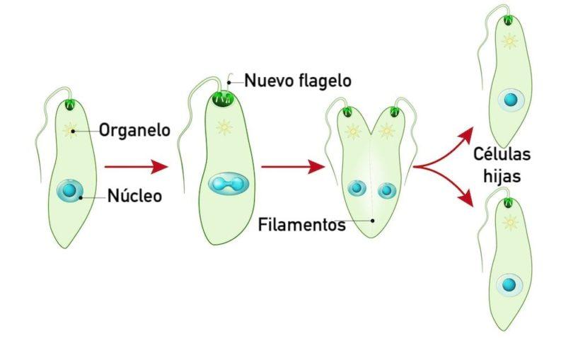 fision binaria tipos reproduccion asexual longitudinal