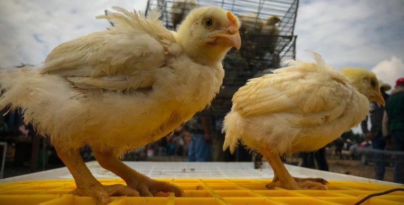 ganaderia aviar mexico