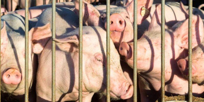 ganaderia porcina intensiva hacinamiento