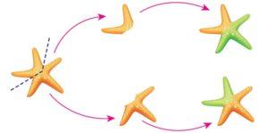 gemacion animales estrella de mar reproduccion asexual