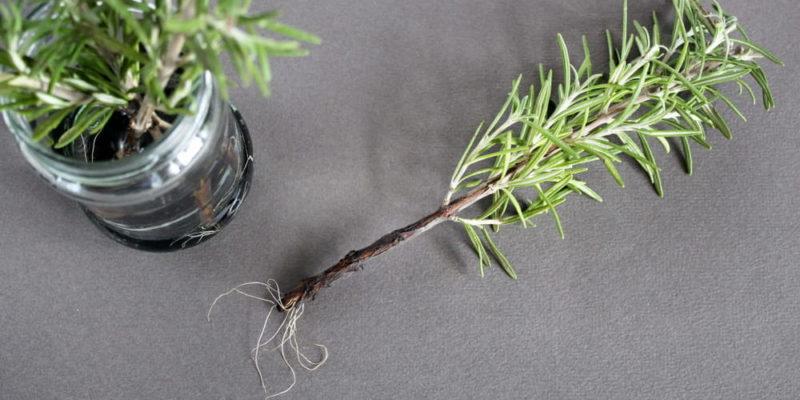 gemacion plantas romero reproduccion asexual