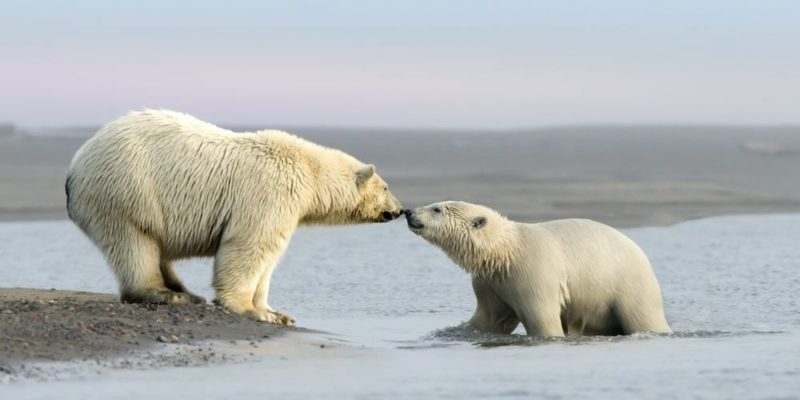 mar de beaufort alaska canada oso polar