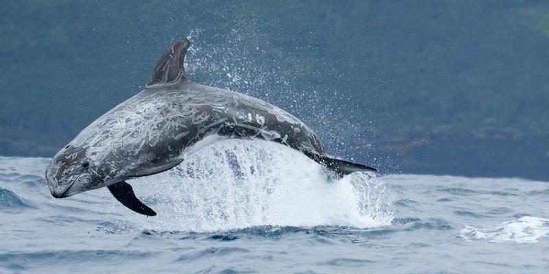 animales de la costa mediterranea delfin gris