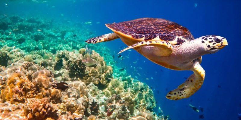 animales de la costa tortuga carey