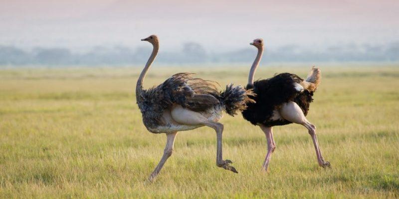 animales terrestres aves avestruz