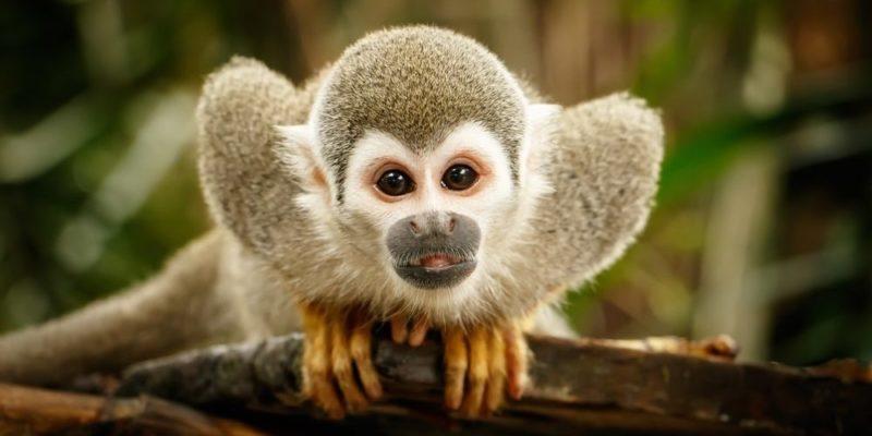 animales terrestres mono ardilla