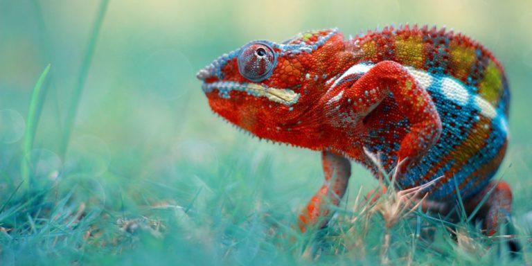 animales terrestres reptiles camaleon