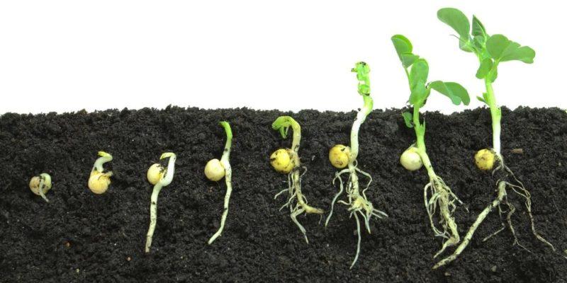 ciclo de vida planta germinacion