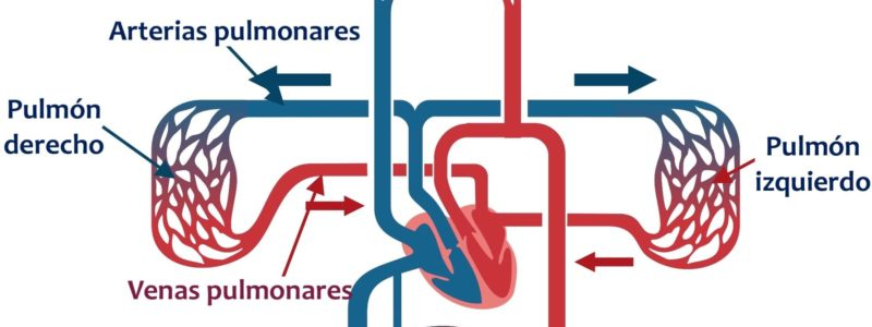 circulacion mayor y menor sangre cuerpo humano pulmonar