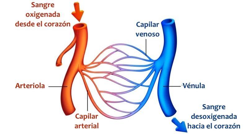 circulacion mayor y menor sangre cuerpo humano sistemica